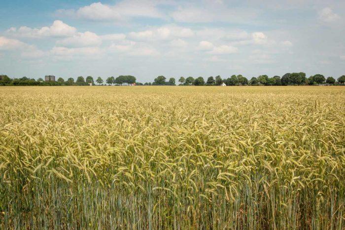 Blick auf ein von Ausweisung bedrohtes Getreidefeld in Alpen-Bönninghardt