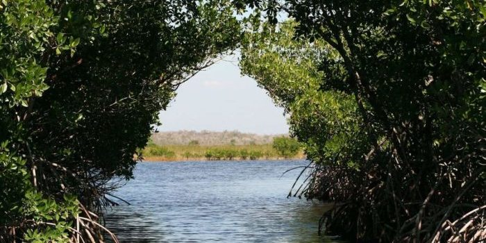 Mangroven können sich anpassen: Ähnlich wie der Mensch an die Digitalisierung