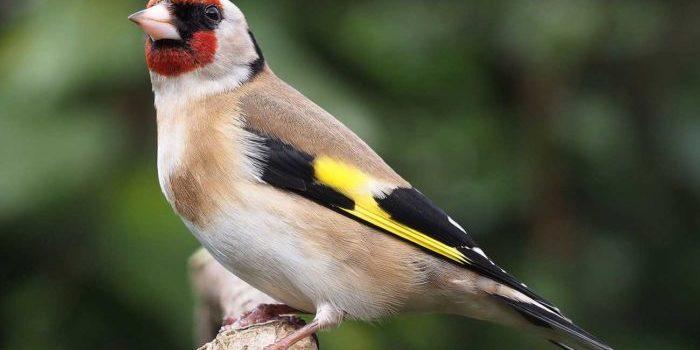 Stieglitz (Distelfink) ein Vogel in der freien Natur